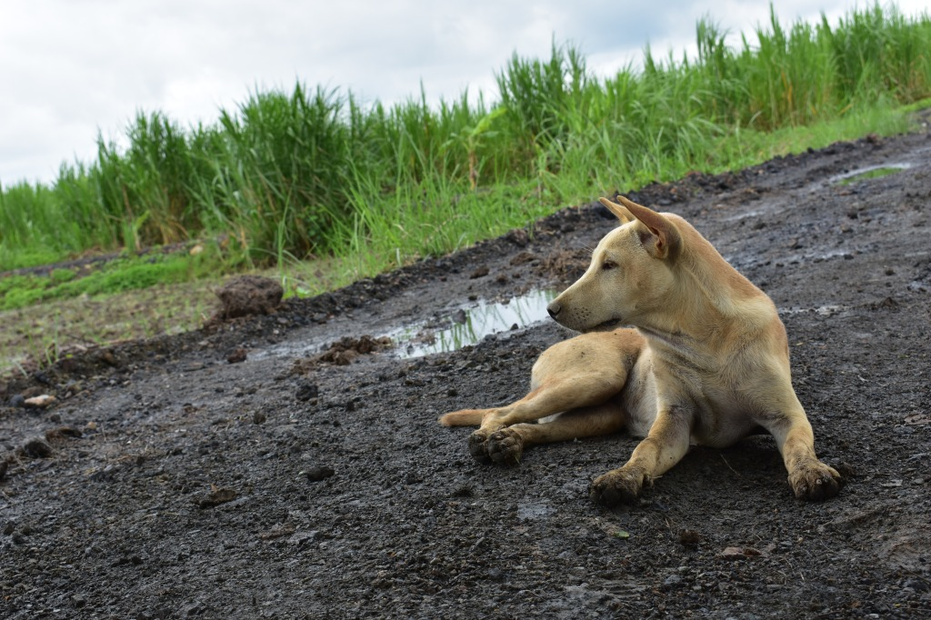 wild dog lay down in mud keeping locals and volunteers company while planting fields in the jungle elephant conservation project