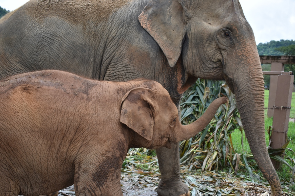 baby and mother elephants recued in elephant nature park chiang mai thailand