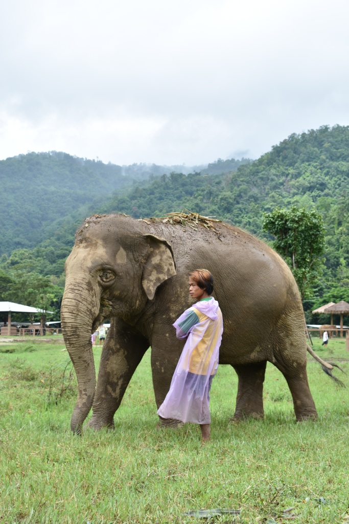 rescued elephant in elephant nature park field with mahout in thailand chiang mai rainy season