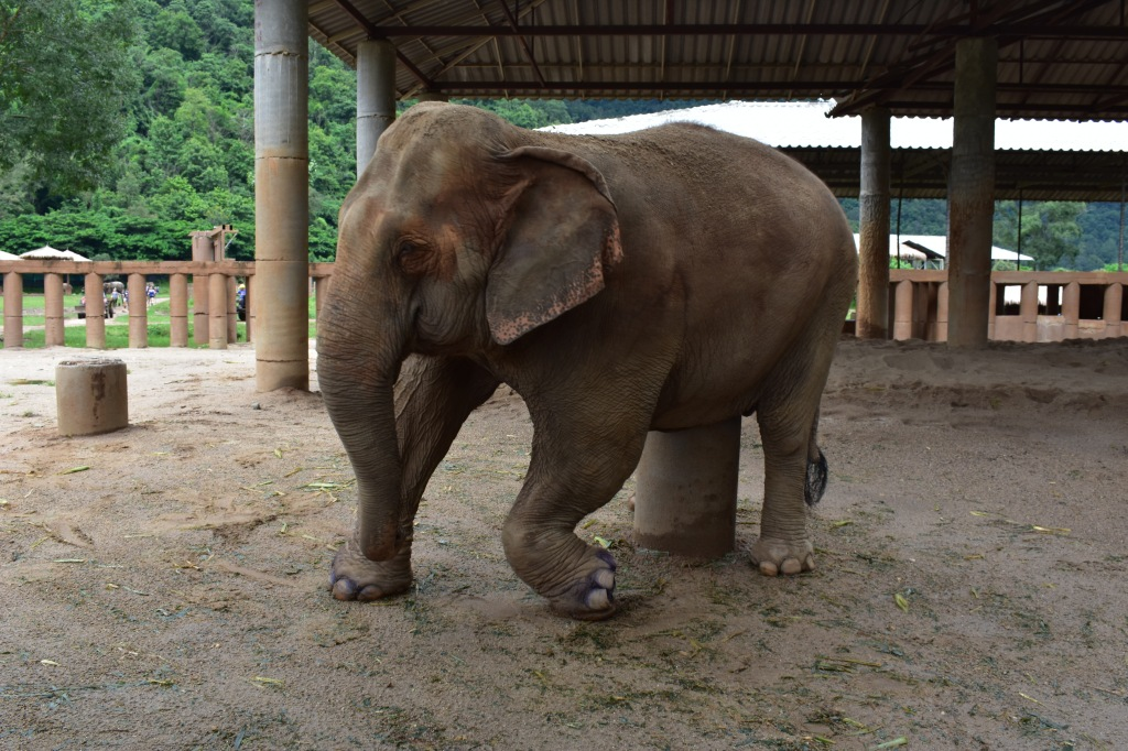 thailand elephant nature park volunteer work conservation elephant rehabilitation field hut thailand kabu injured rescued elephant broken leg orphaned
